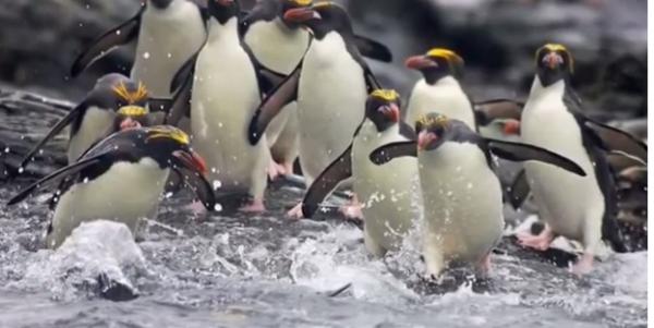 Pinguini macaroni in apa