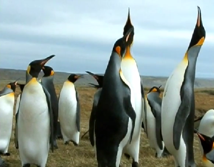 Pinguinul Aptenodytes patagonica