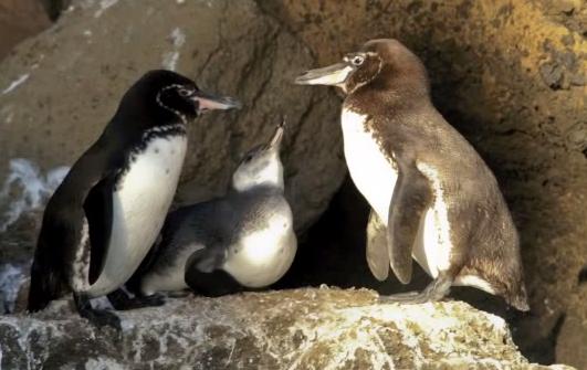 Pinguinul Galapagos