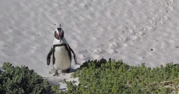 Pinguinul Spheniscus demersus