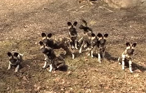 Cainele-hiena (Lycao pictus), Pui de hiene