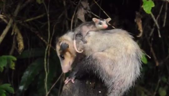 Specia Didelphis marsupialis, Femela cu pui
