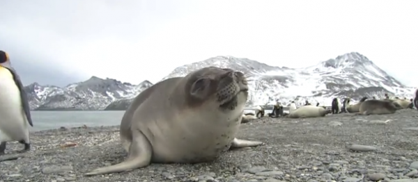 Ursul de mare antarctic