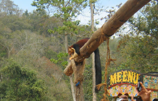 Veverita uriasa indiana traieste in sudul Asiei.