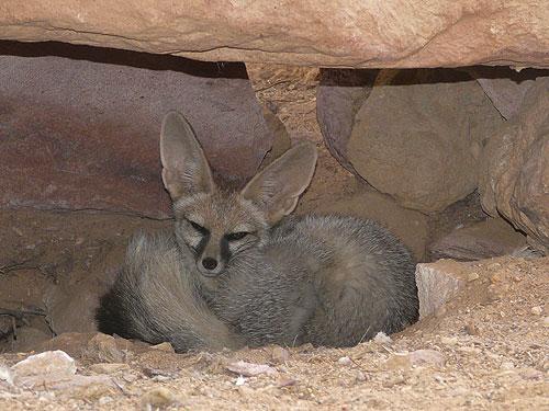 Vulpea lui Blanford, Foto. zooinstitutes.com