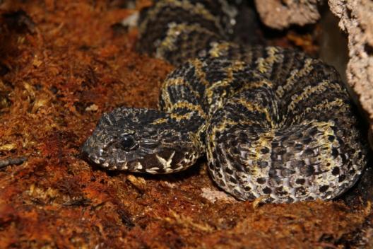 Vipera nordica a mortii - Specia Acanthophis praelongus, Foto: vivariumlausanne.ch