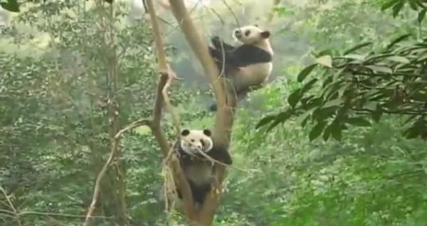 Ursul panda urias, Ailuropoda melanoleuca