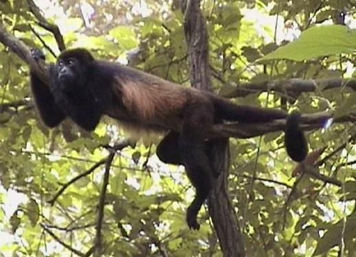 Maimuta urlatoare, Specia Alouatta villosa, Foto: nurturenatural.org