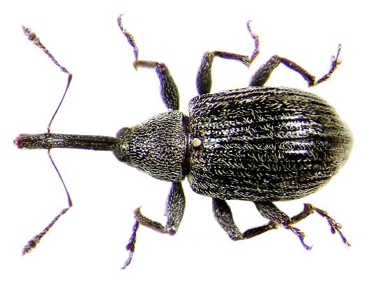 Gargarita neagra a capsunilor, Anthonomus rubi, Foto: kaefer-der-welt.de