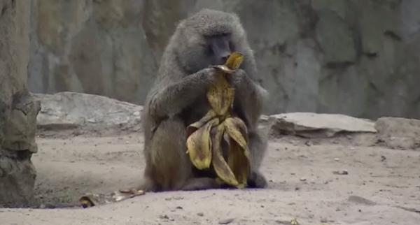 Babuinul galben