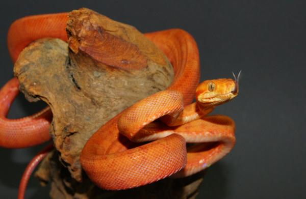 Boa amazonian de copac, Foto: snake-my-day.com
