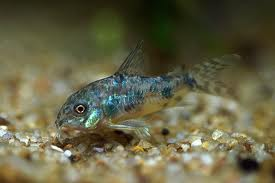 Specia Callichthys paleatus, Foto: degirolamo.it
