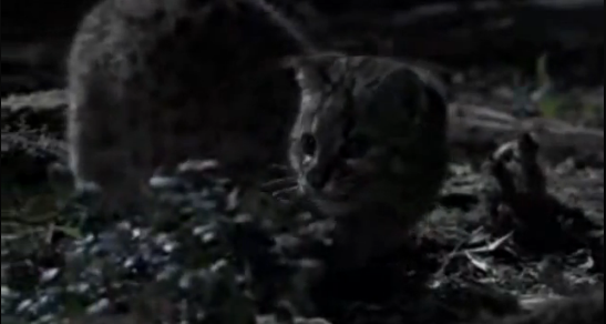 Cea mai mica felina din America – Kodkod (Felis guigna)
