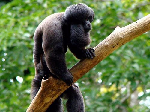 Saki cu barba neagra , Specia Chiropotes satanas, Foto: animalesraros.animalesenpeligrodeextincionenmexico.com