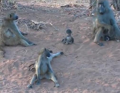 Familie de babuini Chacma