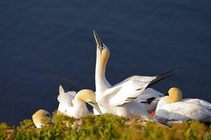 Gasca de mare nordica (Forus bassanus)