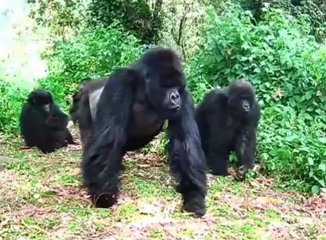 Gorila estica