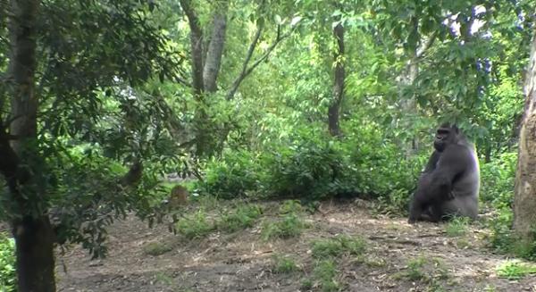 Gorila vestica