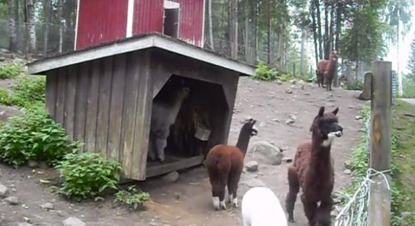 Lama alpaca