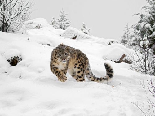 Leopardul zapezilor