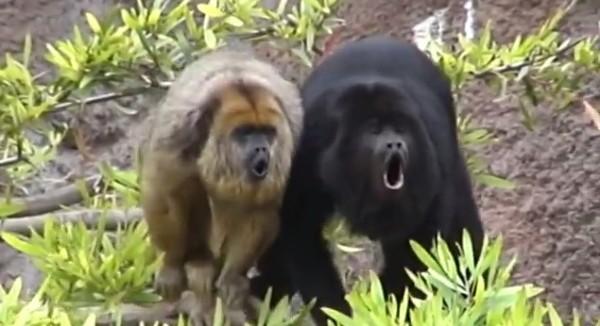 Maimuta urlatoare de culoare neagra, Mascul si femela