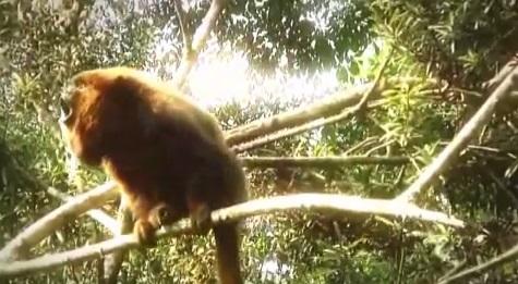 Maimuta urlatoare de culoare neagra, Specia Alauatta caraya