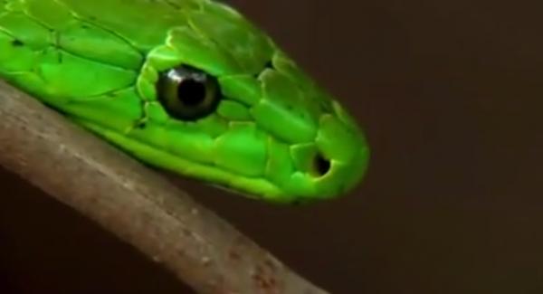 Mambra verde est-african, Capul sarpelui