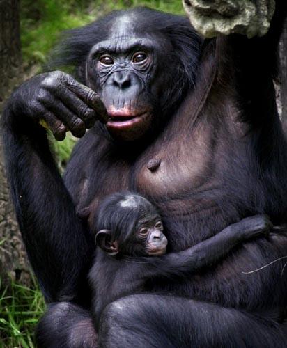 Pan paniscus, Foto: primates.com