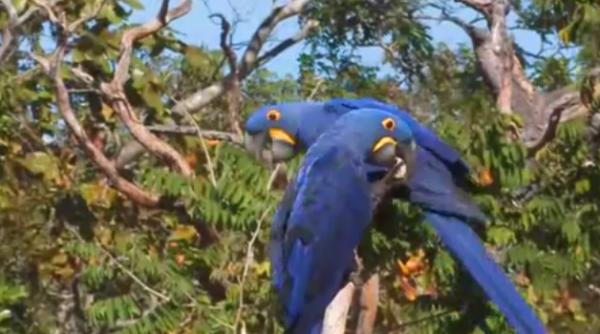 Papagali Ara hiancit sunt cei mai mari din lume
