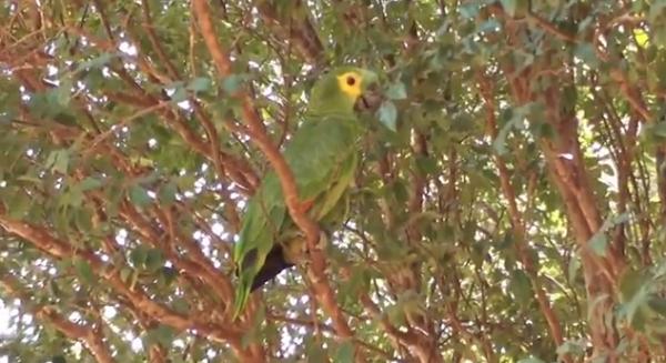 Papagalul de Amazon, Specia Amazona aestiva