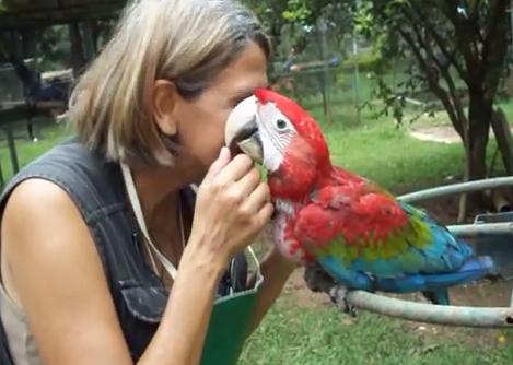 Papagalul Ara cu aripi verzi, Specia Ara chloroptera