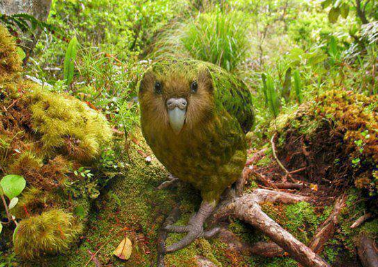 Papagalul Kakapo camuflat perfect in mediul sau natural, Foto: imgace.com