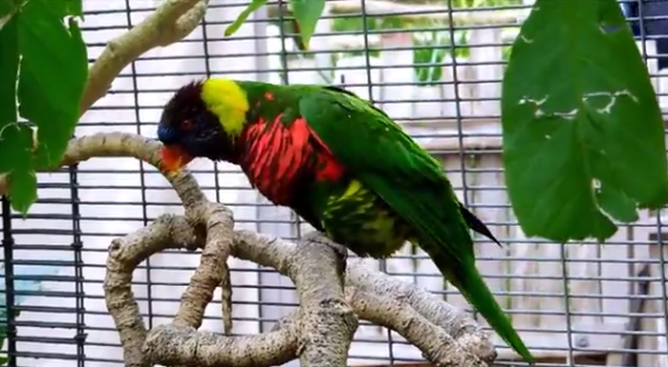 Papagalul Trichoglossus haematodus