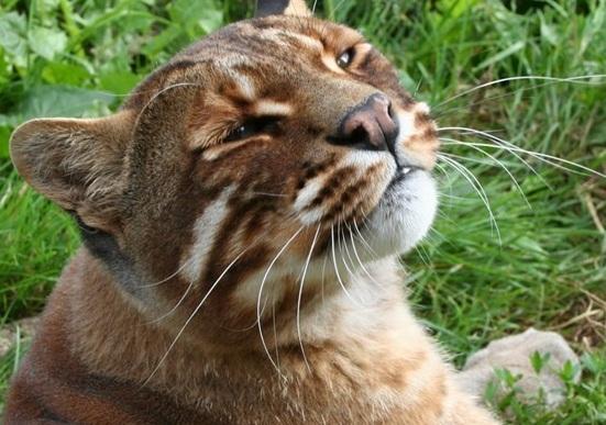 Pisica asiatica aurie, Capul, Foto: guancha.cn