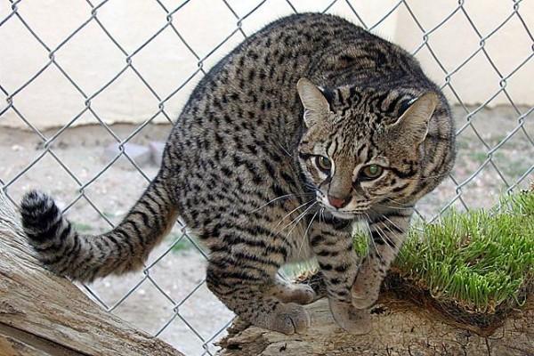 Pisica lui Geoffroy (Felis geoffroyi), Foto: cathouse-fcc.org