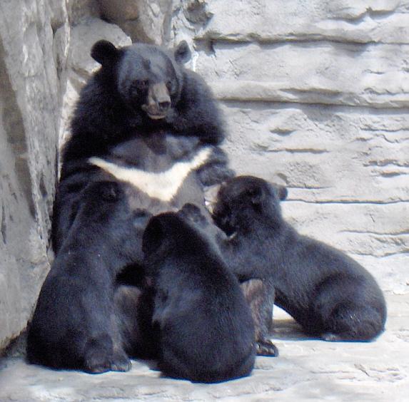 Selenarctos tibetanus, Foto: payer.de