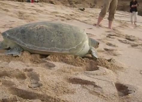 Testoasa verde se deplaseaza pe plaja de nisip