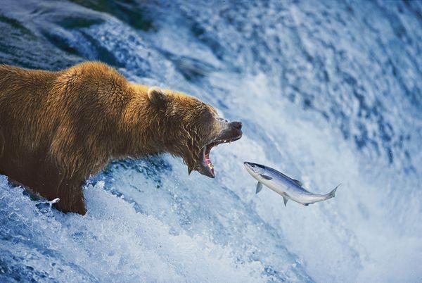 Ursul Grizly, fotografie realizata de Michio Hoshino, Foto; socialphy.com
