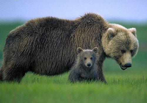 Ursoaica si puiul, Foto: mun.ca