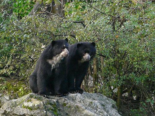 Ursul negru cu ochelari