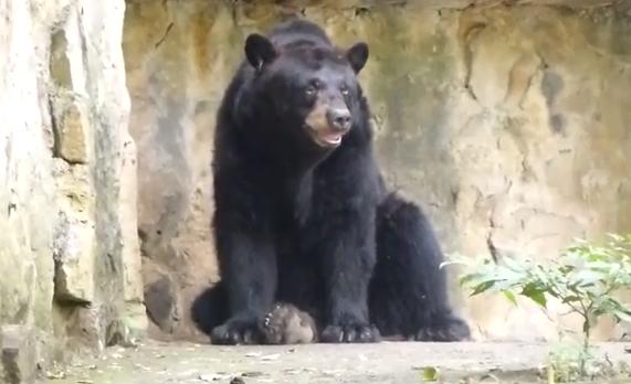 Ursul negru american, Ursus americanus