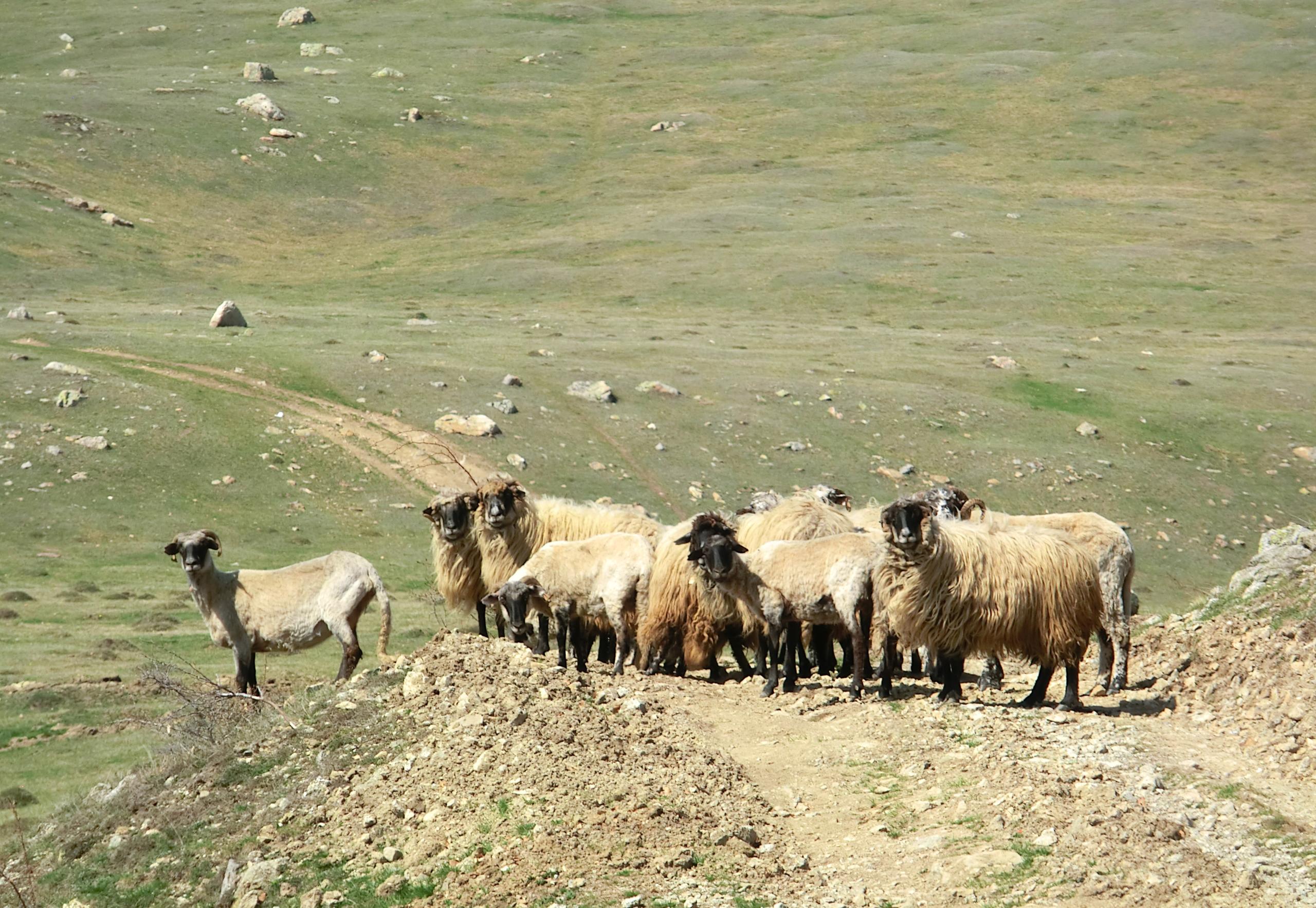 CIMG1314 - Un grup de oiţe ne-a blocat drumul. Erau singure, fără cioban.