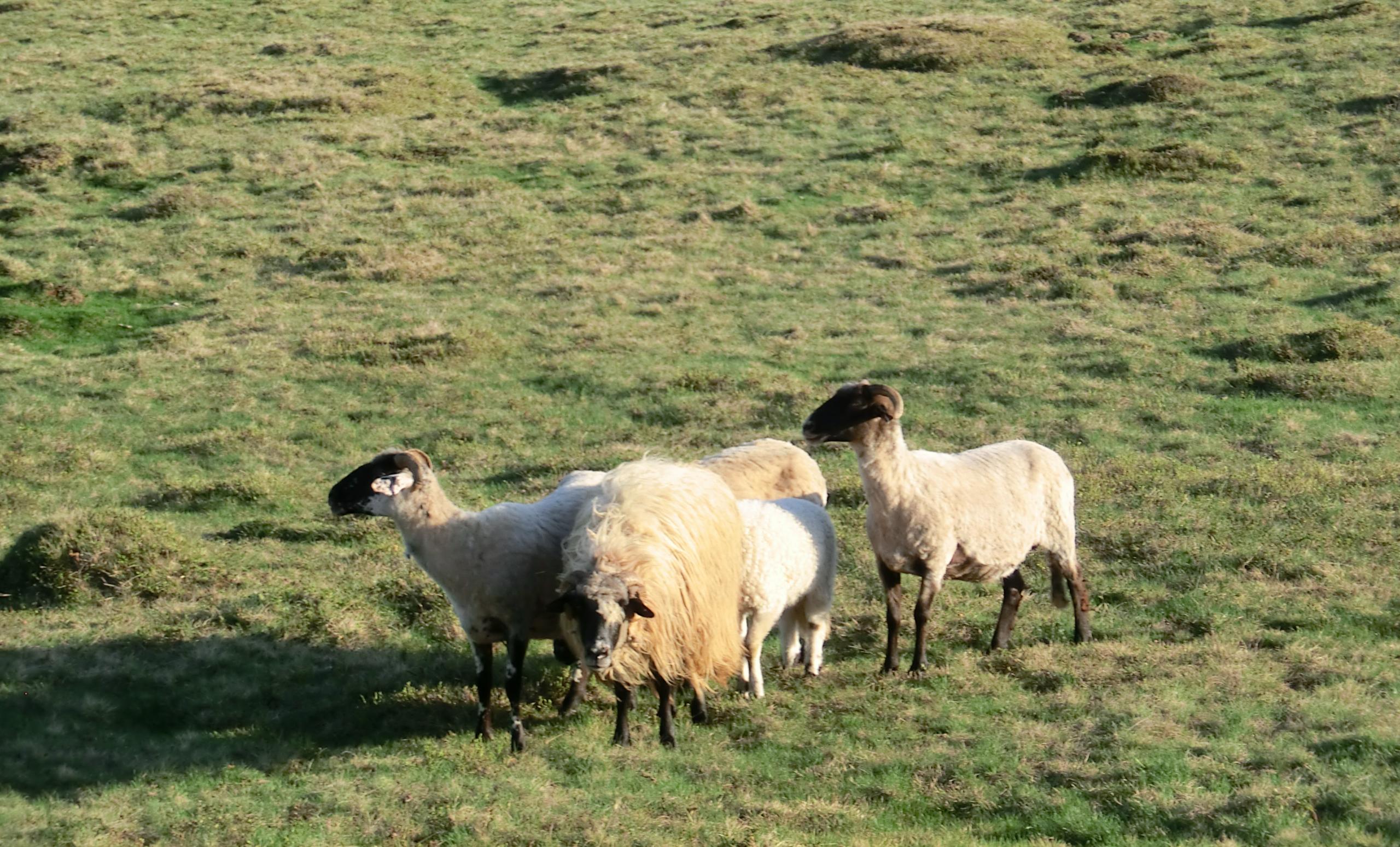 CIMG1323 - Cele 5 oiţe care ne-au supravegheat cortul.