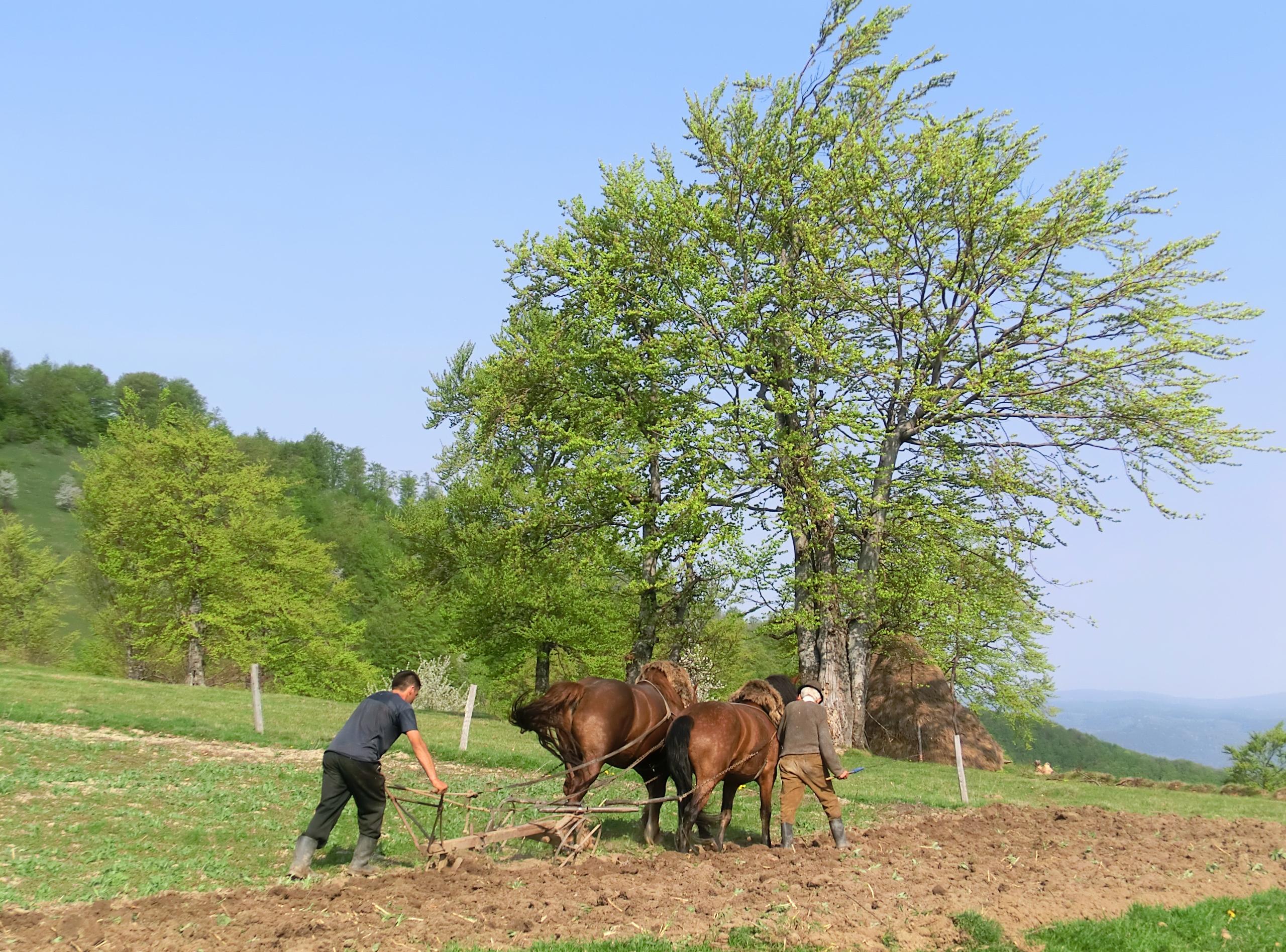 CIMG1385 - Se ară cu plugul tras de cai