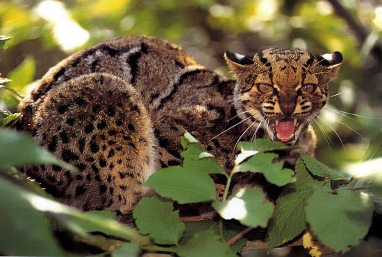 Pisica marmorata (Felis marmorata), Foto: xamobox.blogspot.ro