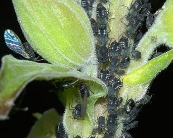 Păduchele negru al sfeclei , Foto: influentialpoints.com