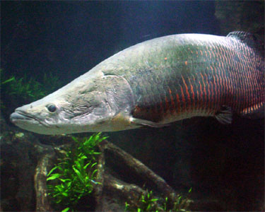 Arapaima gigas, Foto: aquariumdomain.com