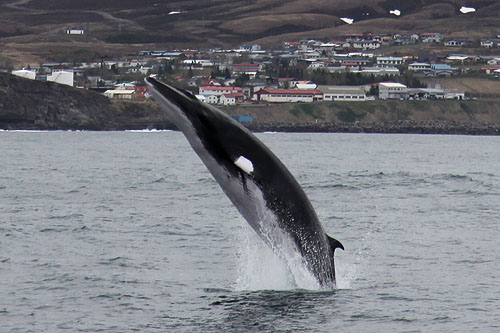 Balena minke, Specia Balaenoptera acutorostrata, Foto: northsailing.is