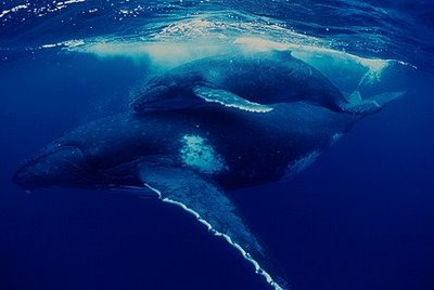 Balena albastra, Foto: wonderfulseaworld.blogspot.ro