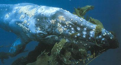 Balena cenusie, Foto: cetaces.e-monsite.com